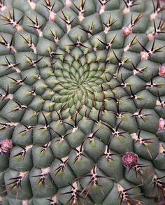 Spiralic cactus by petrichor, via Flickr