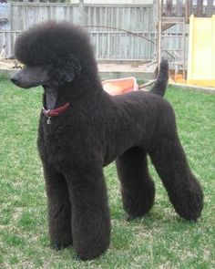 standard poodle I will have one