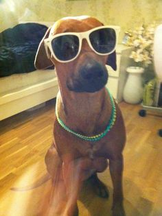 Mini, my rhodesian ridgeback as Paris Hilton
