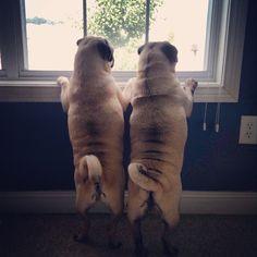 Pug bros