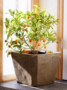 Calamondin Orange..This hybrid between mandarin orange and kumquat bears fragrant white blossoms in late winter or spring. The wonderfully fragrant flowers develop into showy 1-inch-diameter orange fruits on a shrubby plant with glossy green foliage. Fruits can remain on the plant for many weeks.