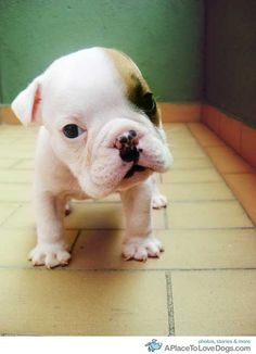 Say hello to Mantis, the bulldog puppy. Isn't he adorable? #dogs #puppies