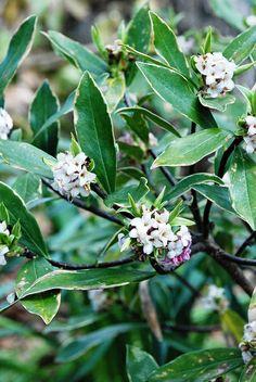 Winter daphne in the Ripley Garden