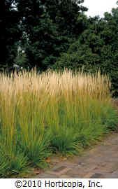 Feather Reed Grass (Calamagrostis x acutiflora 'Stricta') zones 4-9