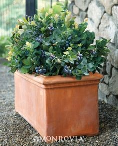 New compact blueberry from  the Brazelberries™ collection, this shrub offers white bell-shaped flowers in spring, sweet blueberries in summer and foliage ranging from peachy pink to orange to emerald green!