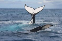 Thanks to Erica for sharing these HUMPTASTIC pics with us.  Humpback Whale Watching in the calm waters on the lee side of Fraser Island #HATH #fraserisland #queensland #australia #humpbackwhales #whalewatching http://www.whalewatch.com.au/ www.queensland.com/whales