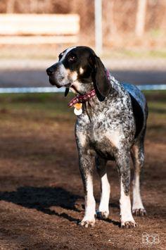 Bluetick Coonhound Dog / Grand Bleu de Gascogne #Hounds #Dogs #Puppy
