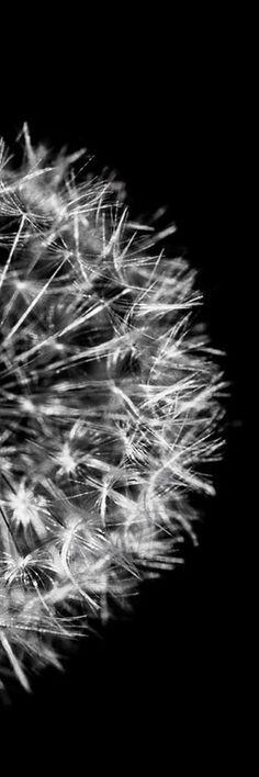 dandelion #tmophoto www.tmophoto.com