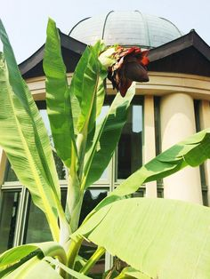 Audrey II, is that you? The giant, slightly intimidating cliff banana is on display in the Haupt Garden (and grown in our offsite greenhouses in Maryland).