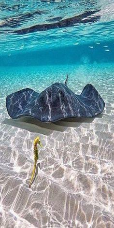 """A ray & seahorse - Tropical Ocean - <a href=""""https://www.pinterest.com/lpasch/tropical-ocean/"""" rel=""""nofollow"""" target=""""_blank"""">www.pinterest.com...</a>"""