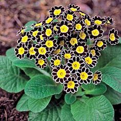 Silver Lace Black Primrose  Unique and Oh-So-Pretty        This stunning shade perennial features lovely silver-white edging, which contrasts nicely with the deep brown-black, scalloped petals and vibrant gold centers.