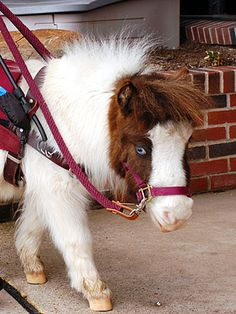 """Magic, a blue-eyed miniature mare, a therapy horse visited an assisted-living facility and a patient who had not spoken in years said to Magic """"Isn't she beautiful?  Florida program called Gentle Carousel Miniature Therapy Horses."""