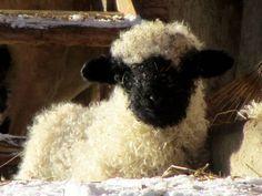 valais blacknose sheep | Valais Blacknose Lamb | Flickr - Photo Sharing!