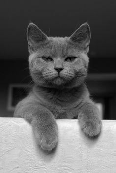 .gray cat