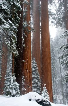 giant sequoia, adam, winter trees, mountain forest, northern california, winter wonderland, amaz, national parks, beauti