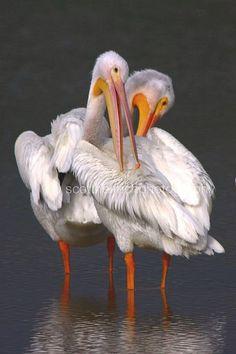 Pelican embrace