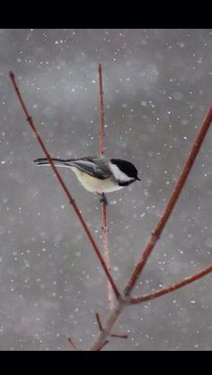 Chickadee bird, chickade, backyard