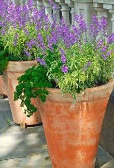 Ever thought of using herbs as a feature in your container garden? Here brilliant green curly parsley cascades down the side of a tall row of pots along with purple-flowered Erysimum linifolium 'Variegatum' which provides height, contrasting colour + texture. A simple idea for combining edibles & ornamentals. More container garden inspiration @ http://themicrogardener.com/category/container-gardening/ | The Micro Gardener