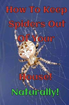 Spiders hate peppermint and eucalyptus!......