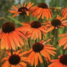 Orange Luxury Coneflower. Beautiful orange with central cone of dark  burnt amber, the vibrant colors of this fragrant Coneflower live up to its name. Blooming all summer long with a well-branched habit to complete the picture. Love these, they're so stunning!!