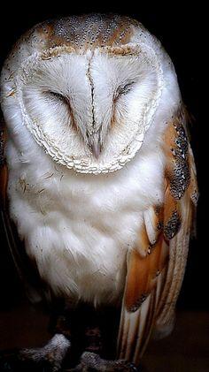 Barn Owl by Tony Shertila