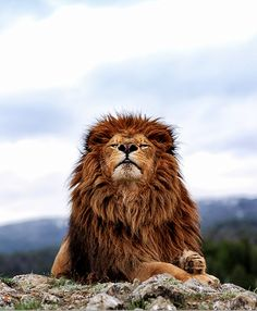 proud lion.