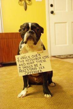 Dog Shamed Boston Terrier