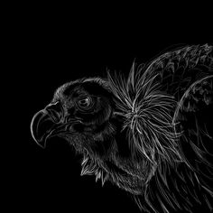 scratchboard art | Vulture scratchboard by *nightspiritwing on deviantART