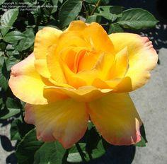 Gold Medal grandiflora rose. Zone 6b.