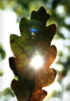 voiceofnature:    Oak leaf