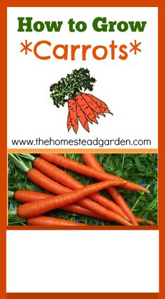 Everything you need to know about growing carrots.