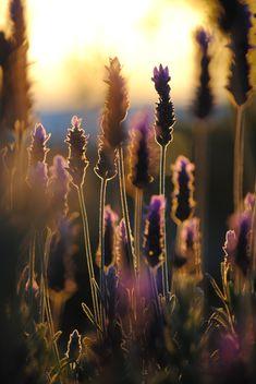 Lavender Silhouettes by Laurette van der Merwe | lovely