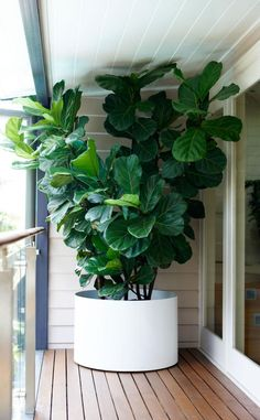 Lush Fiddle Leaf Fig. A number of plants planted in the same container.