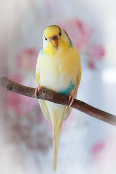 Beautiful Parakeet