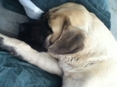 o how cute....St. Bermastiff Puppies Born April 7th 2012