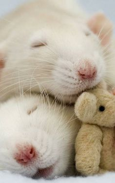 These Photos Of Rats Holding Teddy Bears Will Make You Kinda Love Rats