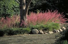 Heuchera Coral bells. Compact, evergreen perennials forming basal clumps of roundish, scalloped leaves accented by wiry stems to 3' bearing ...