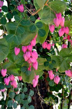 Queen's Wreath Vine's (Antigonon leptopus) lovely pink flowers - love!