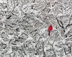 Cardinal in snowy tree
