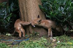 Red Fox Cubs by Alex B Witt on Flickr