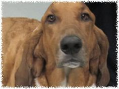 Rigby is an adoptable Basset Hound Dog in Waterford, MI. Rigby is a beautiful three years old neutered male basset who was surrendered to a shelter because his owner and hubby had to move in with fami...