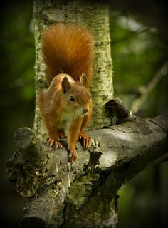 Red Squirrel - He Looks Perfect !