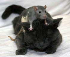 Mouse on cat