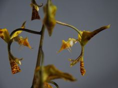Gongora tricolor - See it at The Orchid Show www.chicagobotani...