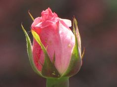 This Bud's For You  Photo by Lori A. Moore  Click image for purchasing info