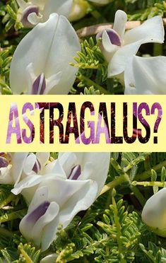 5 Amazing Health Benefits of Astragalus