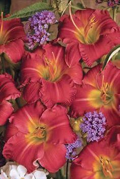 """Endless Heart"" Daylily plant, cardin daylili, colors, early bird, birds, garden, earlybird cardin, flower, cardinals"
