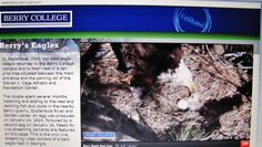 First Eaglet of a Clutch #birds #eagles #clutch #eaglet