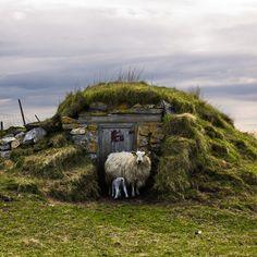 sheep are home