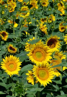 A cheery field of sunflowers on the outskirts of Owosso.